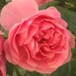 吐息を薔薇の香りで40代でも女子力アップ